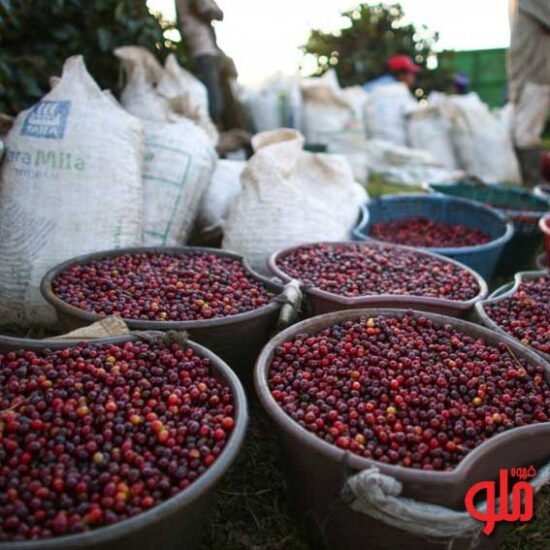 راهنمای تولید کننده گان قهوه برای انتخاب یک روش فرآوری