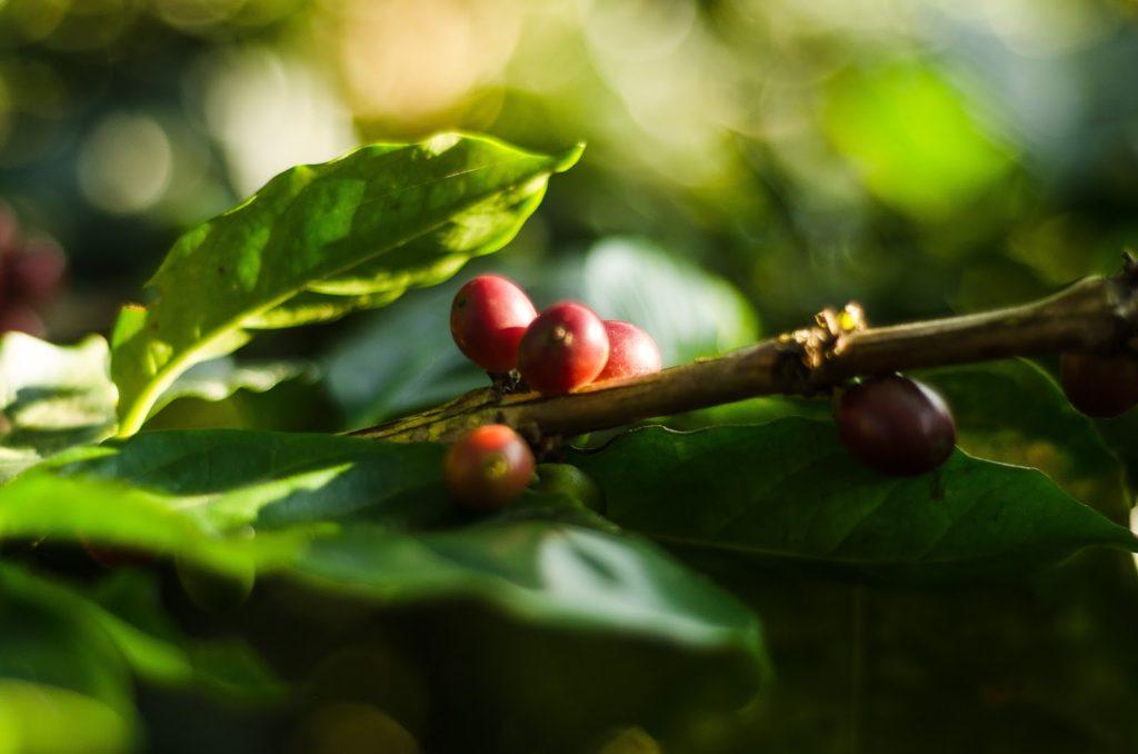 میوه های قهوه بر روی شاخه می رسند