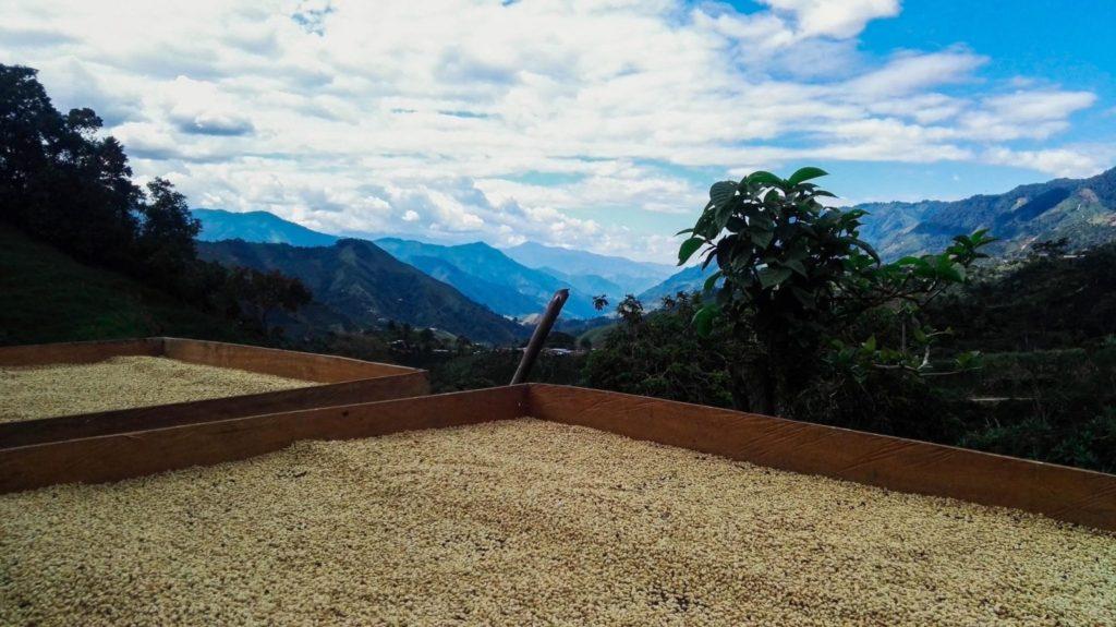 در کلمبیا قهوه های شسته شده بر روی سکوهای بلند خشک می شوند