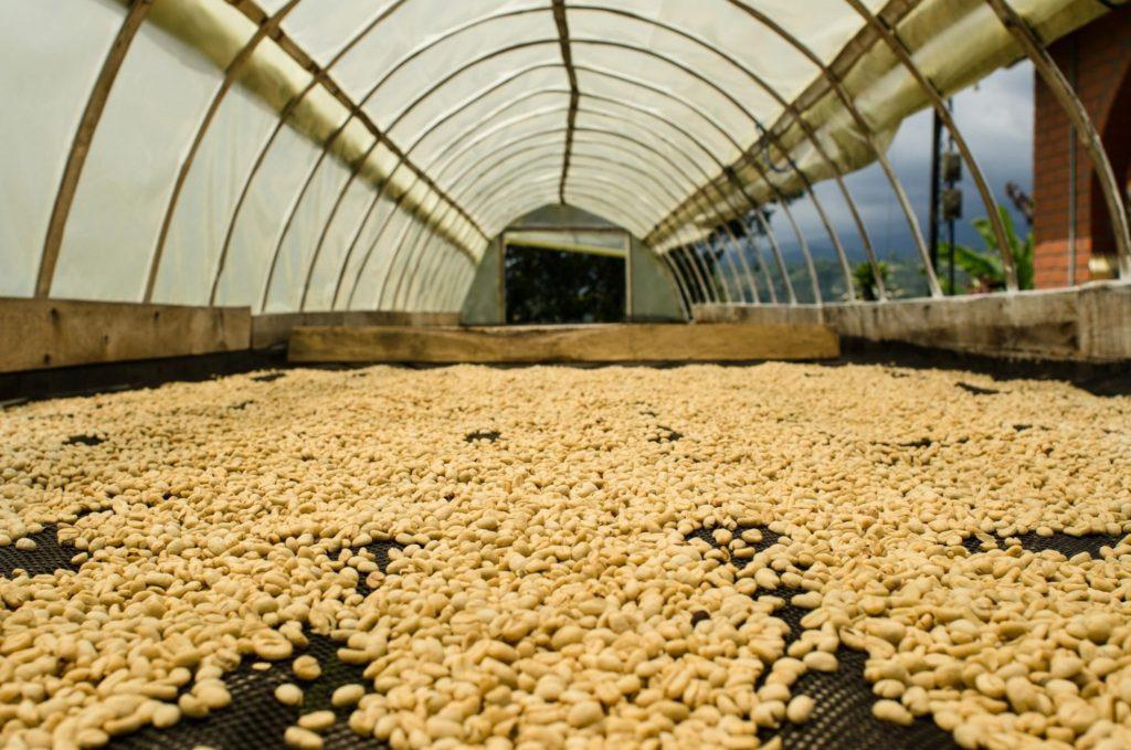 قهوه شسته شده بر روی سکوهای بلند خشک می شود