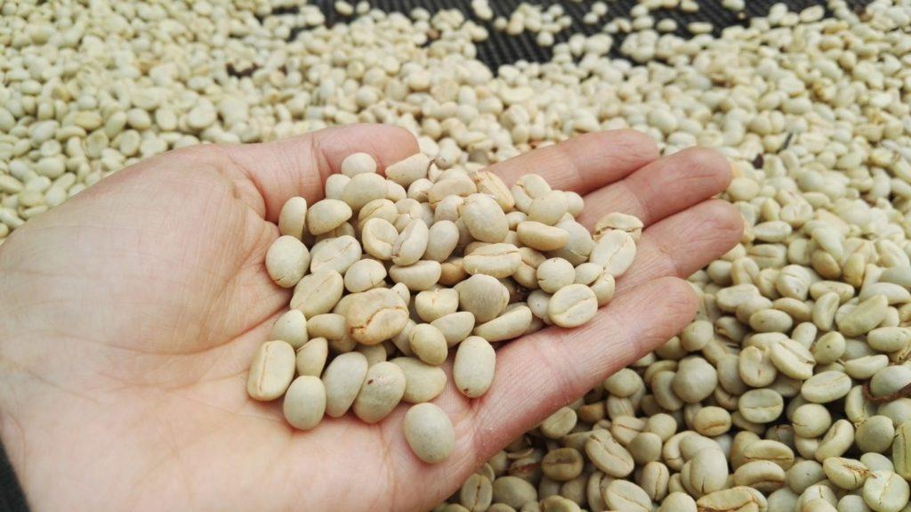 دانه های قهوه کاستیلو شسته شده بر روی سکوهایی خشک می شود