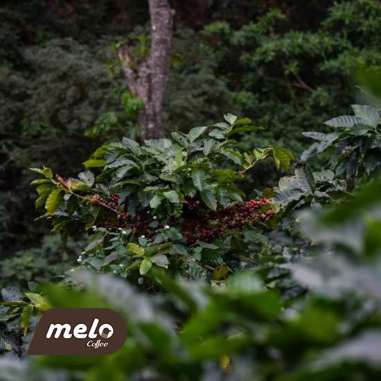 قهوه شناسی : راهنمای آفت ها و بیماری های معمول قهوه