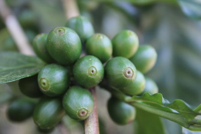 گیلاس های (میوه) سبز قهوه