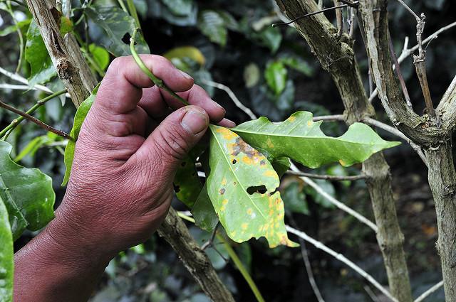 گیاه قهوه که پوسیدگی برگ مبتلا شده است