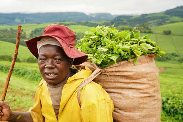 یک برداشت کننده چای در مزارع شرقی Highlands در پای کوه Nyangani در شرق زیمبابوه. عکس: نیکول متئو