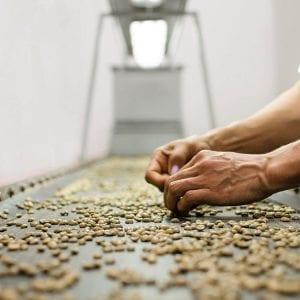 دانه های سبز کلمبیایی برای صادرات آماده می شوند