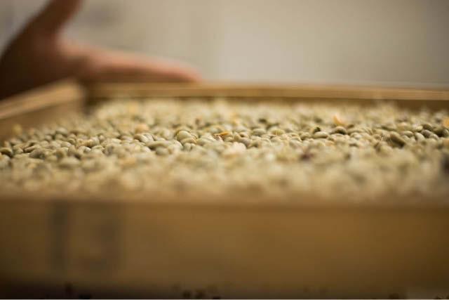 دانه های قهوه سبز بازرسی می شوند