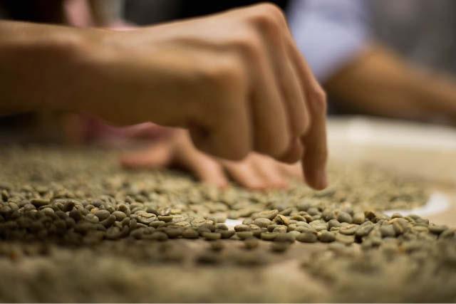 دانه های سبز قهوه طبقه بندی می شوند
