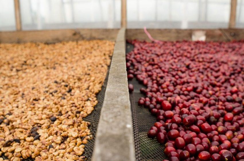 قهوه های طبیعی و عسلی به آرامی بر روی سکوها خشک می شوند