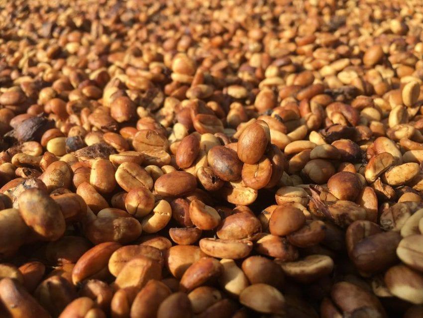 مرحله خشک شدن قهوه طبیعی گوشتی در زیر آفتاب