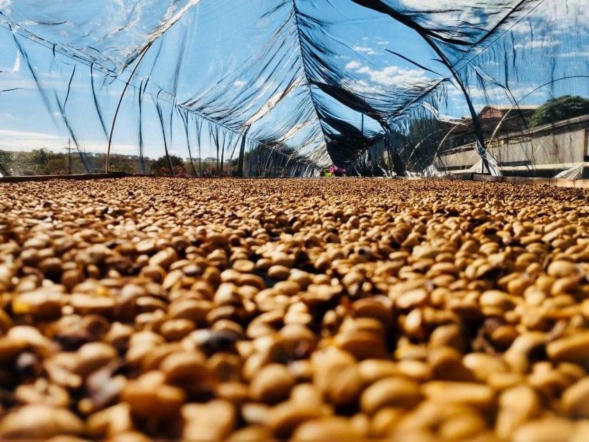 قهوه ها بر روی بستر مرتفع در حال خشک شدن هستند (Fazenda Capricorini برزیل)