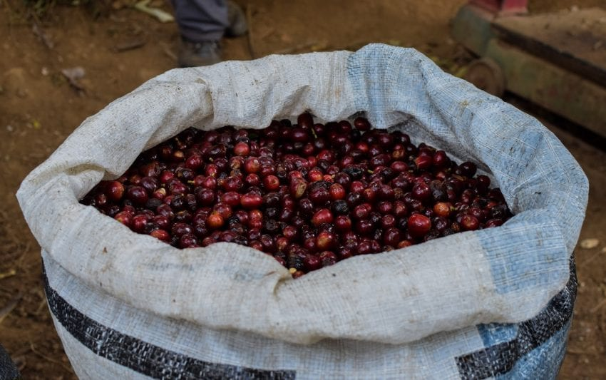 یک گونی از میوه های رسیده قهوه