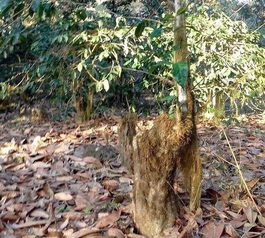 درخت قهوه ای در ال پراگرسو که تصور می شود 140 سال عمر داشته باشد