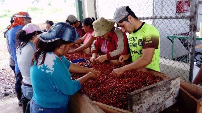 """افراد Cooperativa de production Cafetalera de las Islas Galapagos"""""""" در جزیره سانتا کروز گیلاس ها را بر اساس رنگ جدا می کنند"""