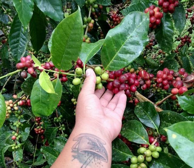 چیدن قهوه در سان یوجنیو (جزیره سانتا کروز)