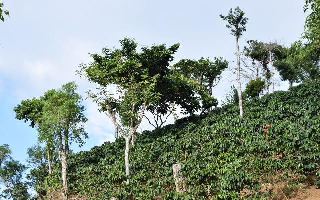 درختان قهوه در یک مزرعه واقع در السالوادور