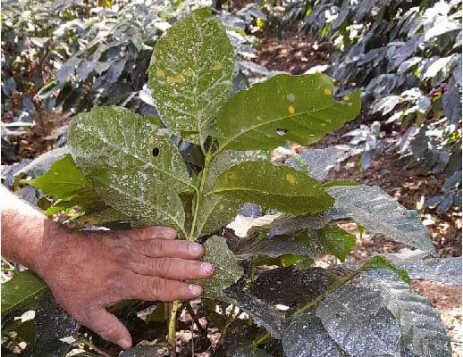 بر روی گیاهان قهوه قارچ کش هایی با پایه مس پاشیده شده است