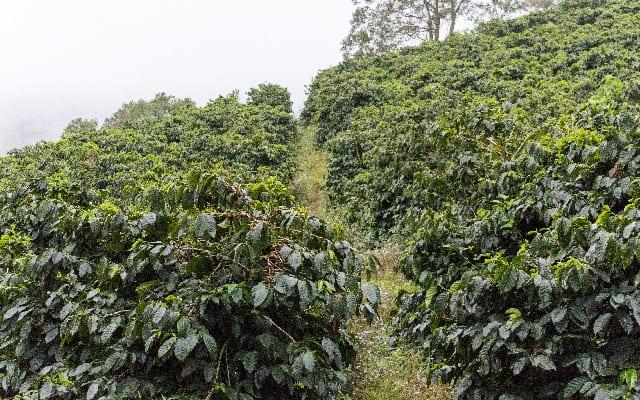 درختان سالم قهوه در مزرعه ای در هندوراس