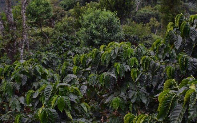 درختان سالم قهوه در السالوادور