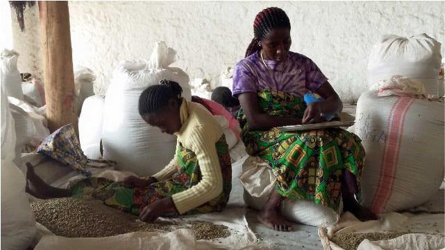 زنان در منطقه کیوو شرق کنگو دانه های قهوه را پاک می کنند